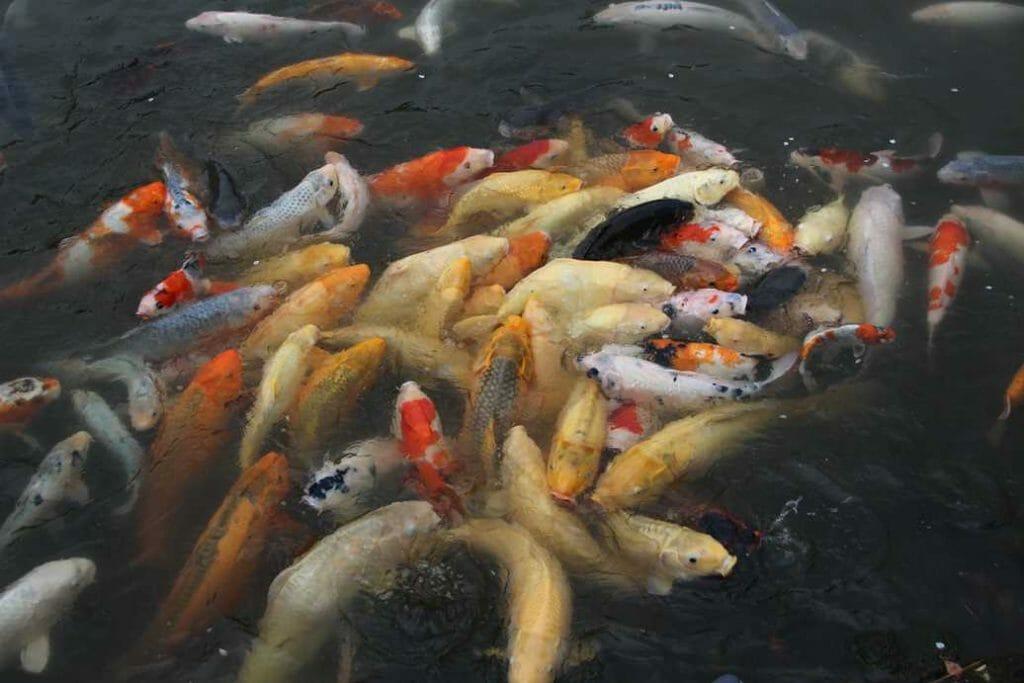 Fish in a feeding frenzy in Japanese garden