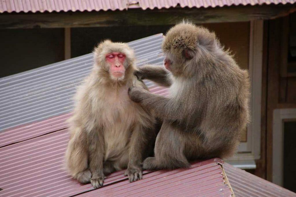 Wild monkeys preening each other