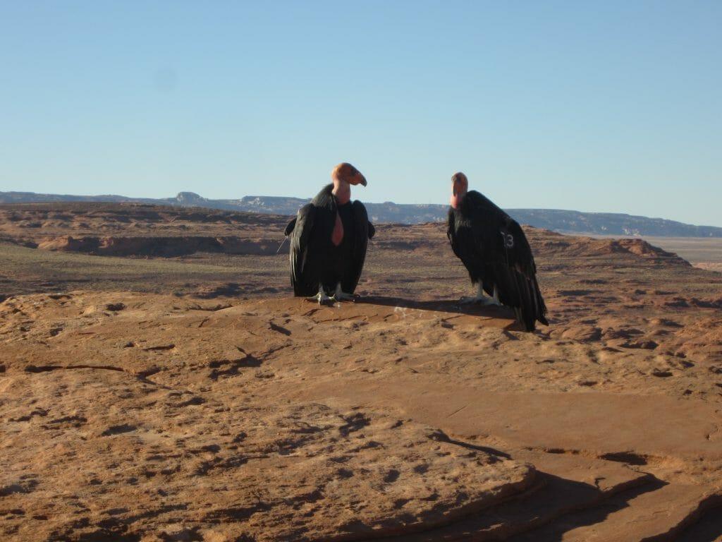 Condors at Horseshoe Bend