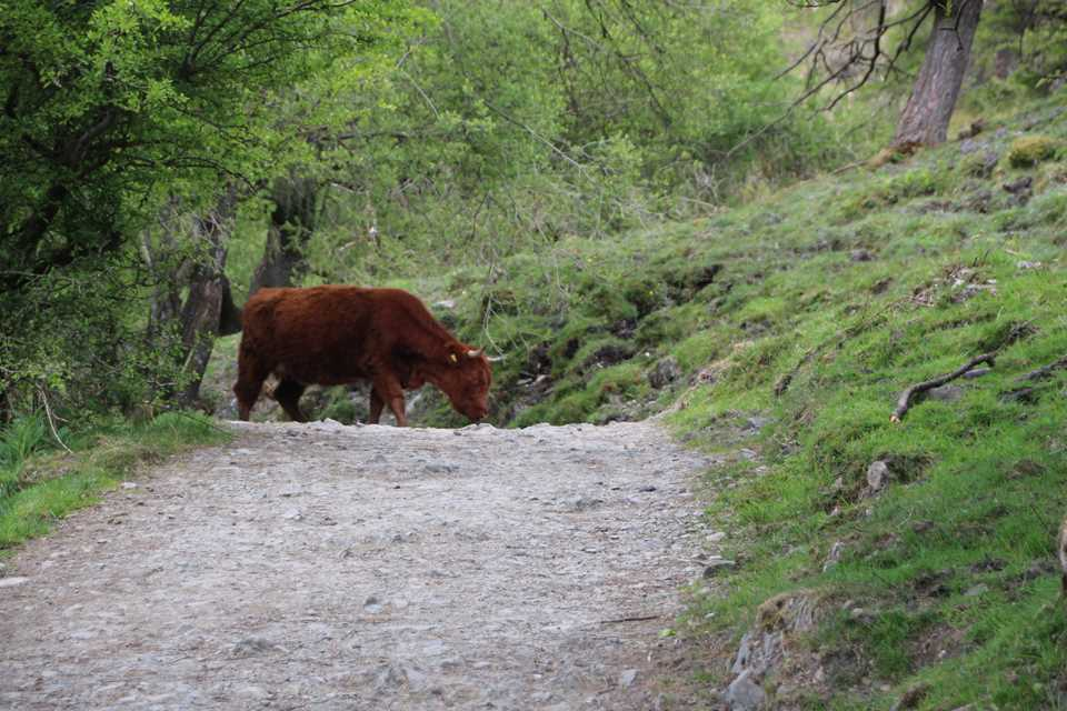Cow on path at Gummer's How