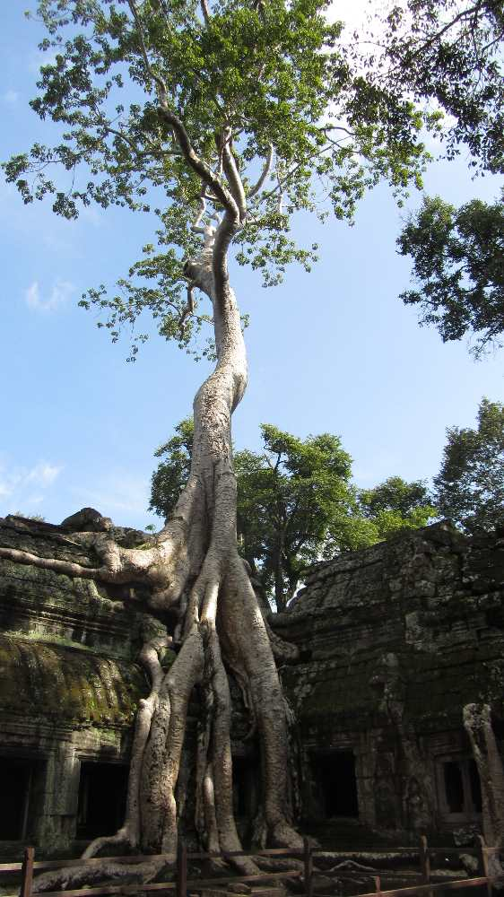 Tree growing over temple